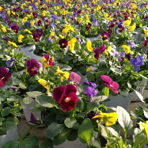 Viola multicolor